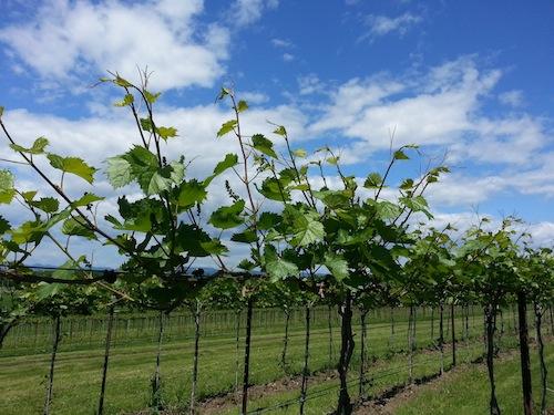 spring vines 1