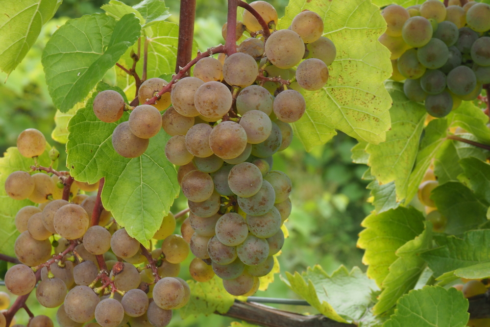 white wine grape cluster.jpg