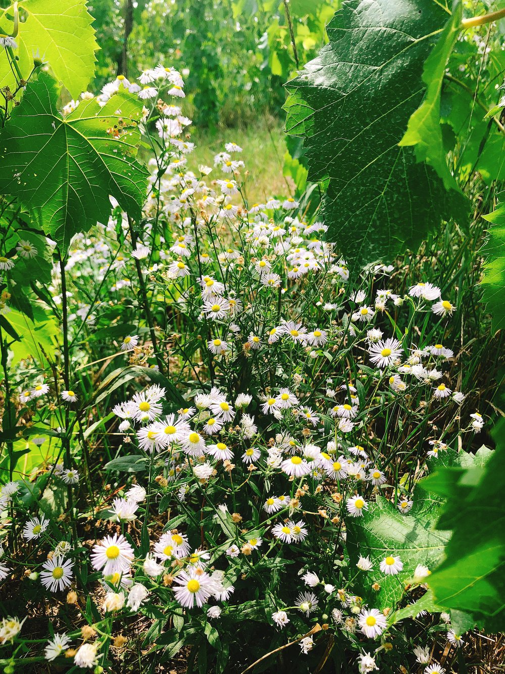 Oxeye Daisy growing wild below Marquette vines in the north bloc at McCabe's Brook Vineyard