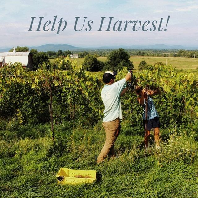 Help Us Harvest!! We need a small crew on Friday 8am and ALL HANDS ON DECK for Saturday 7am! DM us for details, we will pay you and feed you ❤️ 🍇 ☀️ . . . . . . . . . . #vermontmade #harvest #harvest2018 #vermontlife #vermont #shelburnevineyard #vtjobs