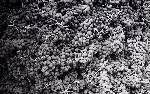 A film shot of Marquette looking more like stone than like grapes. 📷: @sirheaume . . . . . . . . . . . #vermontmade #shelburnevineyard #vermontlife #vineyardphotography #filmphotography #marquette #blackandwhitephotography
