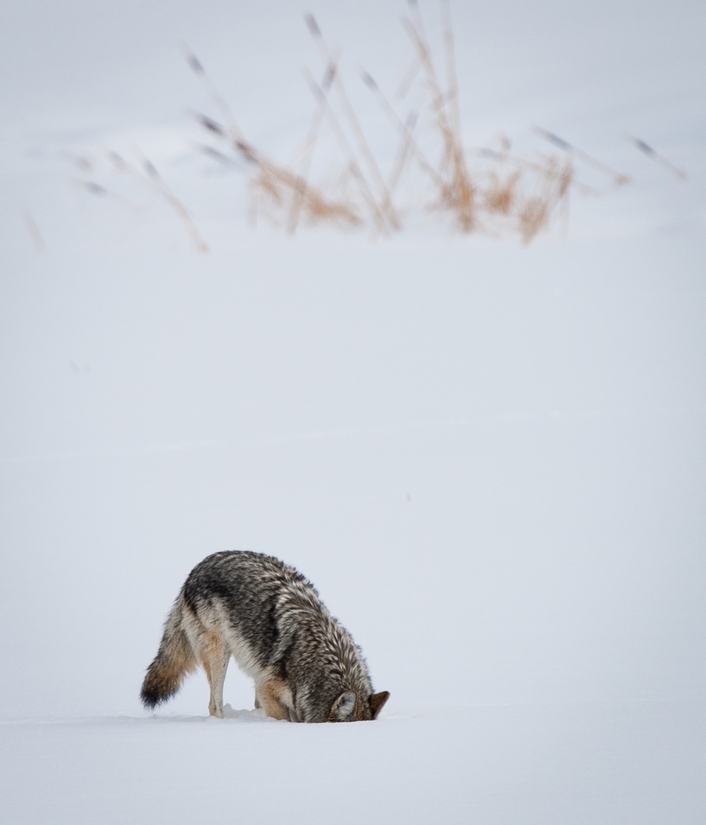Coyote Feeding near Fishing Bridge