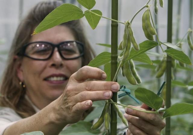 Soybean Plant Specialist Nancy Brumley ties up a soybean stalk in the soybean greenhouse at the Monsanto Research facility in Chesterfield, Missouri October 9, 2009. I REUTERS/Peter Newcomb