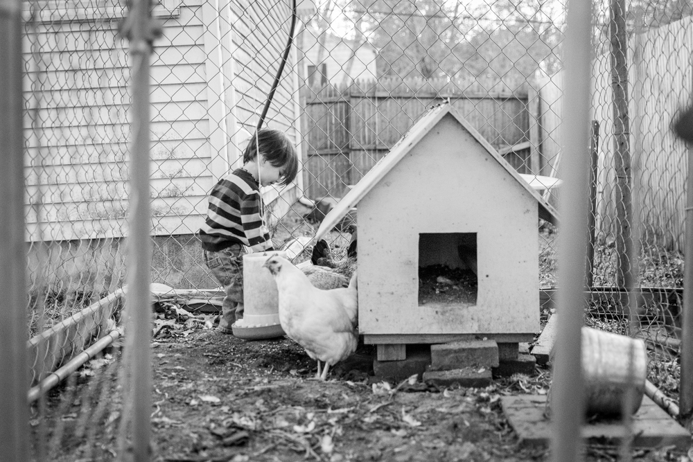 My son feeding our chickens.