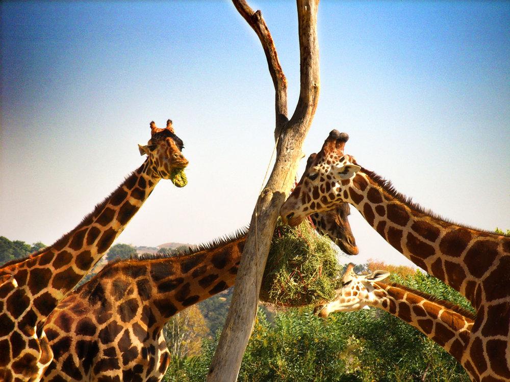 Africa (Giraffe).jpg