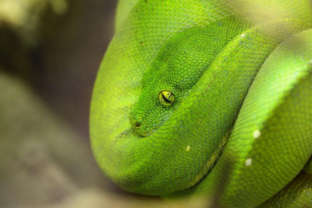 Brazil (Python).jpg