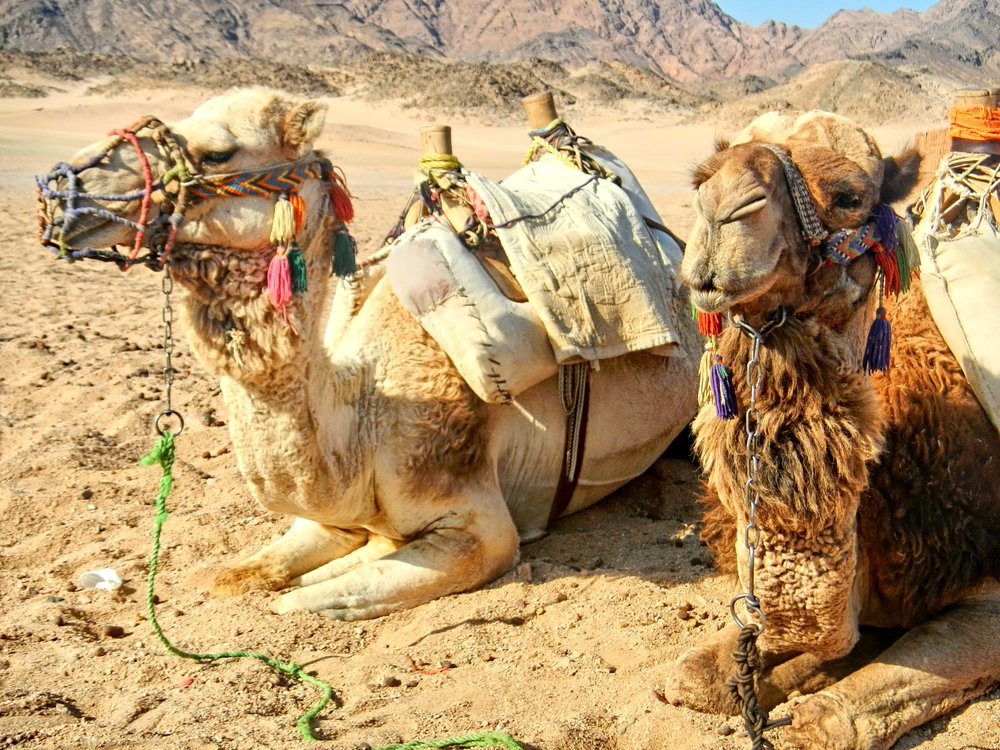 Egyptian Camels.jpg