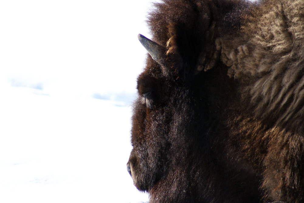 Yellowstone (Buffalo).jpg