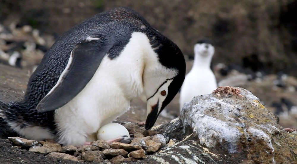THE PENGUIN COUNTERS is a tempestuous journey with Ron Naveen and his rag-tag team of field biologists to Antarctica where they have been tracking the impact of climate change on penguin populations.