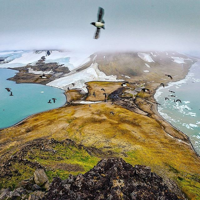 Little Auk sweep past curious eyes in Franz Josef Land, Russia. I spent 45 days with @natgeo and @natgeopristineseas with @andy_mann exploring the archipelago that lies 800 miles north of the Arctic Circle. Intact ecosystems give us a cohesive baseline from which we can gauge further impacts of climate change, offering an unobstructed view of the human footprint. @enricsala @paulroseexplorer @eddiebauer #liveyouradventure