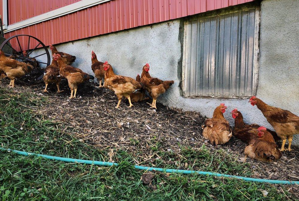 cccr_chickens.JPG