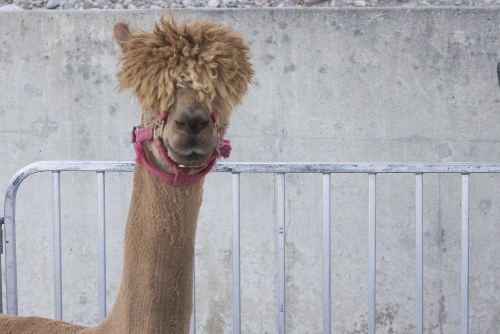 A small petting zoo also featured a shaggy haired alpaca. Photo by Kyle Smith.
