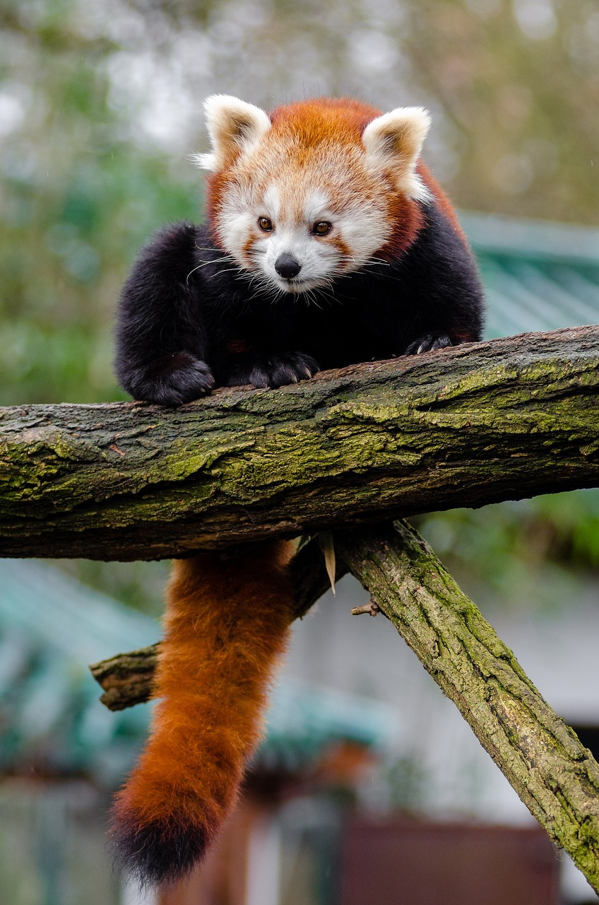 The red panda is one of many species endangered by deforestation.