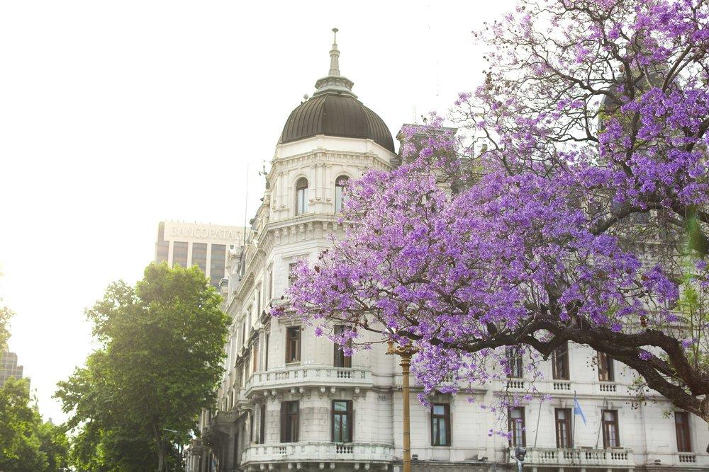 Buenos Aires Jacaranda