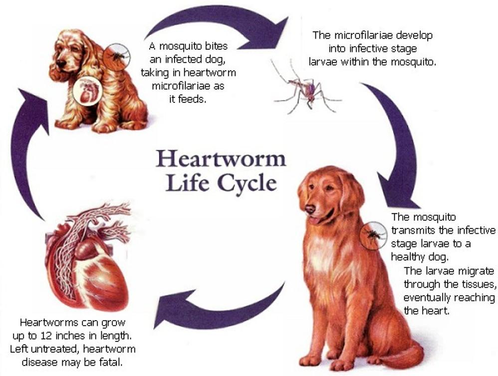 heartworm life cycle.jpg