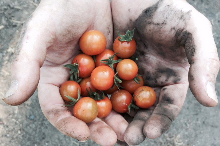 Gallery-tomatoes.png