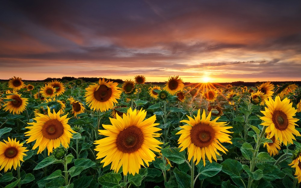 sunflowers-sunflower-yellow-flower-q-wallpaper-1.jpg