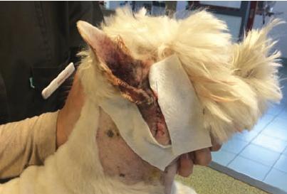 Pose d'un patch de Versatis®(Médicament humain.) (lidocaïne 5 %) en phase postopératoire immédiate d'une chirurgie TECALBO chez un west highland white terrier âgé de 14 ans (otite moyenne).