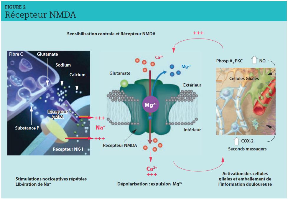 La stimulation prolongée des récepteurs NK1 et AMPA par la substance P et le glutamate dépolarise de plus en plus la membrane des neurones et éjecte l'ion Mg bloquant le récepteur N-méthyl-D-aspartate (NMDA).L'entrée massive de calcium dans la cellule produit une grande variété de seconds messagers (oxyde nitrique (NO), acide arachidonique, etc.) et active de nombreuses enzymes intracellulaires (protéine kinase C [PKC], phospholipase A2 [Phosp A2], COX2) qui, en pénétrant dans les éléments présynaptiques et les cellules gliales, stimulent à leur tour la libération de glutamate.