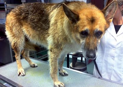 2.   Berger allemand atteint de gastrite sévère  à la suite d'un traitement à l'aide d'anti-inflammatoires non stéroïdiens.Noter la position de la queue et la tête baissée de l'animal.Photos : T. Poitte
