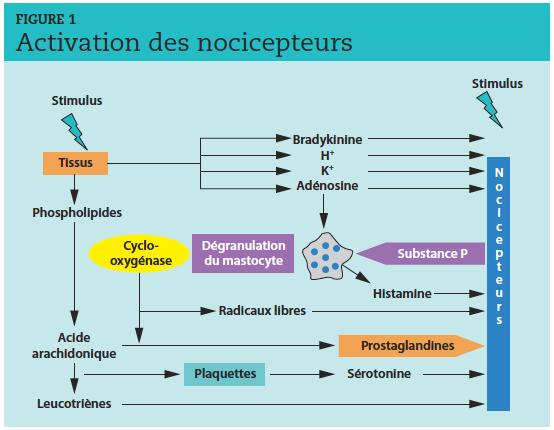 La sensibilisation périphérique des nocicepteurs provient de la libération de médiateurs (substance P, etc.)recrutant des mastocytes et des neutrophiles au sein d'un milieu infl ammatoire complexe. La synthèse des prostaglandines grâce aux COX participe à cet emballement nociceptif. Les anti-infl ammatoires non stéroïdiens bloquent la synthèse de prostaglandines et limitent la sensibilisation des nocicepteurs.