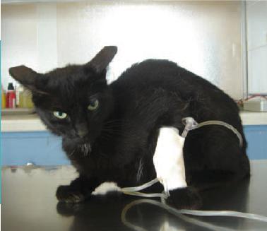 1.  Très fréquente en pratique vétérinaire lors d'urgence, la douleur est encore trop souvent négligée.Photo : T. Poitte