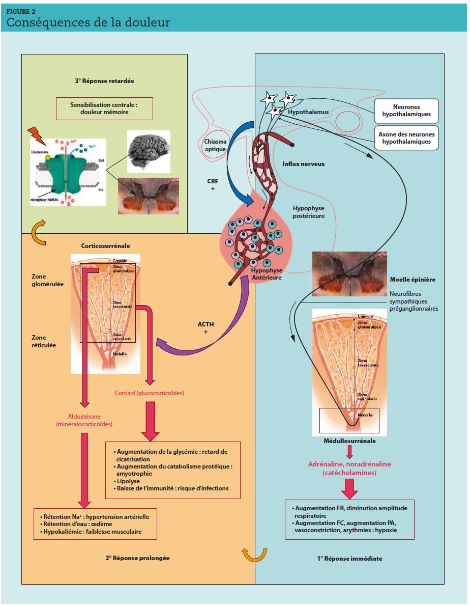 FR : fréquence respiratoire ; FC : fréquence cardiaque ; PA : pression artérielle ; CRF : facteur de libération de la corticotropine ; ACTH : hormone corticotrope.