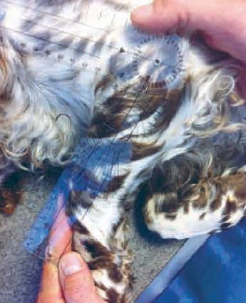 2.  English springer spaniel mâle âgéde 8 ans et atteint d'arthrose sévère du coude gauche.Mesure de l'ankylose par goniométrie :angle de flexion de 79° (normal de 35°).Photo: T.Poitte