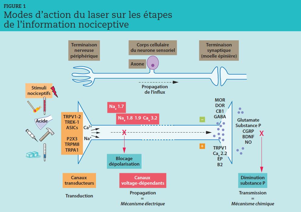 """Les canaux ioniques tapissent la membrane des fibres nerveuses afférentes. Certains sont sensibles à la chaleur (TRPV1, TRPV2, TREK-1), au froid (TRPM8, TRPA1),à la pression (ASIC2, ASIC3, P2X3, TREK-1) ou à l'acidité (TRPV1, ASIC1, ASIC2 et ASIC3).Les canaux ioniques assurent la conversion des stimuli nociceptifs en réponses électriques. Ils sont impliqués dans la genèse et la transmission des signaux électriques mais voient leur activité varier, notamment en fonction de conditions d'inflammation locale.Les récepteurs à canaux ioniques TRPV (à potentiel transitoire, sensible aux vanilloïdes) dépolarisent le nocicepteur et activent les canaux sodiques voltagedépendants,générant des potentiels d'action.Leur activation par une stimulation mécanique ou thermique, un ligand ou un voltage, provoque leur ouverture, laissant entrer des ions calcium ou sodium dans la terminaison périphérique du nocicepteur, ce qui produit un courant entrant dépolarisant la membrane (potentiel récepteur). Si ce dernier est suffisant, les canaux sodiques voltage-dépendants (Nav) s'ouvrent à leur tour, générant un """"bombardement"""" de potentiels d'action révélateur de l'intensité et de la durée du stimulus douloureux. Les interneurones inhibiteurs libèrent des endomorphines : endorphines, dynorphines et enképhalines se fixent sur les récepteurs opioïdes mu, delta et kappa et bloquent toute transmission de substance P et de glutamate. L'action analgésique est rapide mais fugace du fait de la présence dans la fente synaptique d'une enzyme destructrice, l'enképhalinase. D'après [19]."""