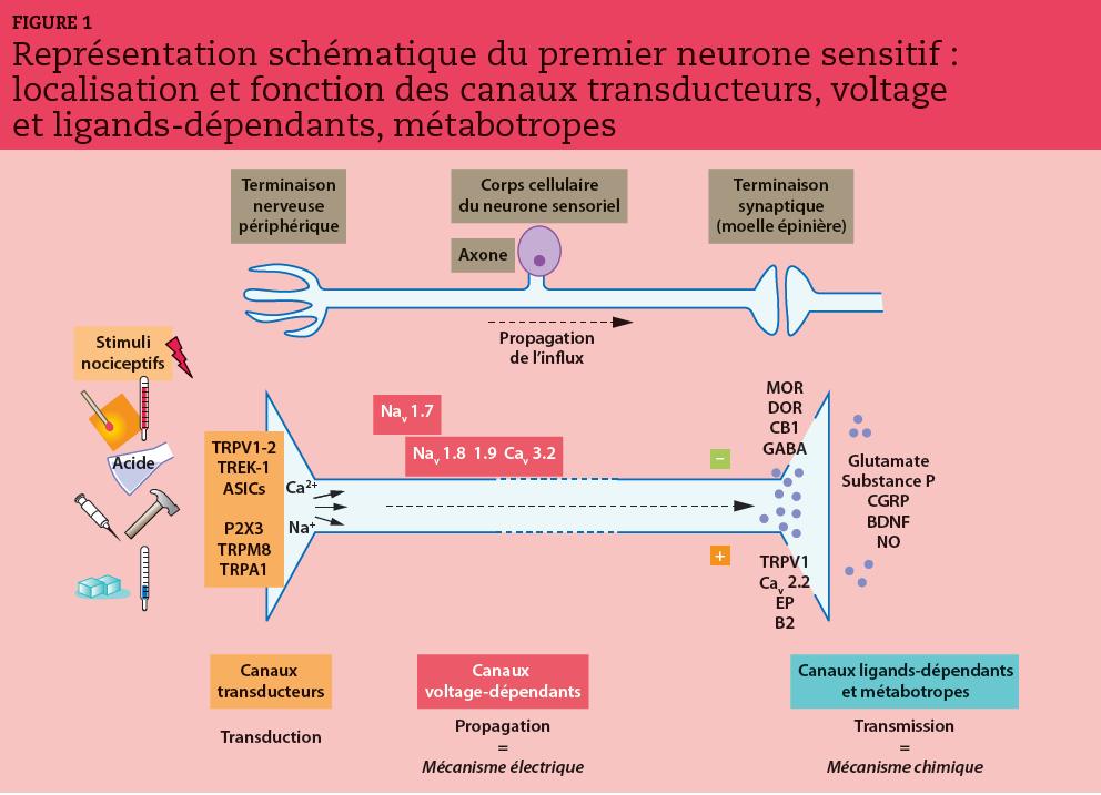 L'information douloureuse chemine le long du premier neurone sensitif et franchit une succession de portes dont l'ouverture est conditionnée par un stimulus (canaux transducteurs), une dépolarisation (canaux voltage-dépendants) et par la formation d'un couple neurotransmetteur-récepteur (canaux ligands- dépendants et métabotropiques).