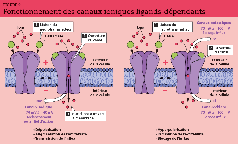 La liaison du neurotransmetteur à son récepteur induit l'ouverture du canal et la migration d'un flux d'ions à travers la membrane. La fixation de ligands comme le glutamate sur un canal sodique produit une dépolarisation, un potentiel postsynaptique excitateur (PPSE) et une transmission de l'influx. La fixation de ligands comme le GABA sur un canal potassique ou chlore produit une hyperpolarisation, un potentiel postsynaptique inhibiteur (PPSI) et un blocage de l'influx.