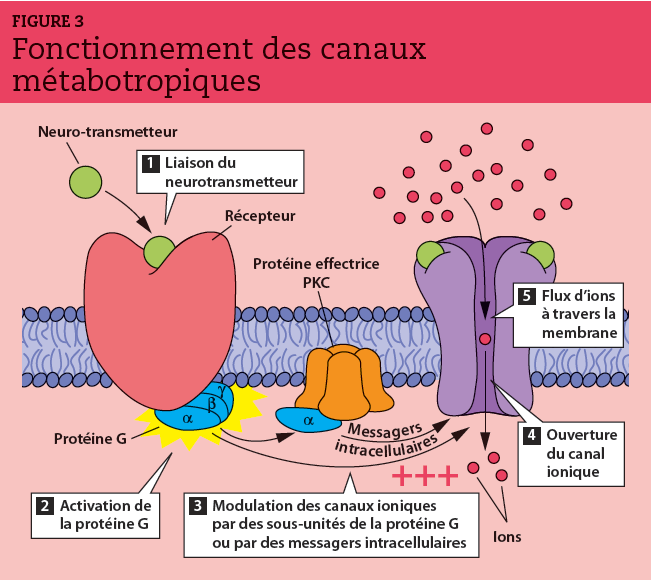 La liaison du neurotransmetteur à son récepteur induit l'activation de protéine G puis la modulation des canaux ioniques par des sous-unités de la protéine G ou par des messagers intracellulaires. Ces seconds messagers ouvrent les canaux ioniques par l'intermédiaire de protéines effectrices (protéine kinase PKC).
