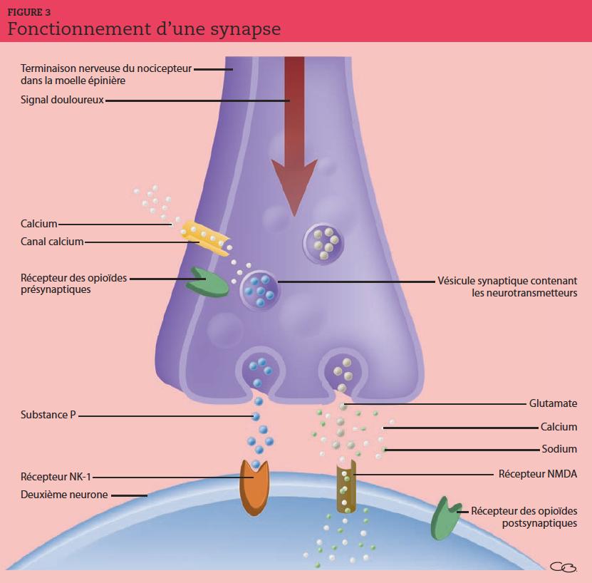 L'arrivée d'un potentiel d'action (signal douloureux) au niveau d'une synapse déclenche l'ouverture de canaux calciques voltage dépendants et une augmentation du calcium intracellulaire, à l'origine de la fusion des membranes vésiculaires et présynaptiques. Le glutamate et la substance P se fixent sur leurs récepteurs postsynaptiques NMDA et NK1 et déclenchent un potentiel postsynaptique excitateur.
