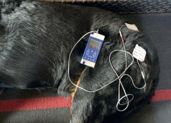 4. Application de courants antalgiques dits TENS  sur une chienne beauceron présentant une sténose lombo-sacrée avec pincement des émergences rachidiennes à l'origine de douleurs neuropathiques.Photo : T. Poitte