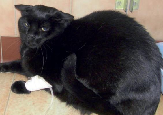 6b.  Elles sont sources également d'une hypersensibilité,voire de comportements agressifs,susceptibles de soustraire le chat aux manipulations douloureuses.