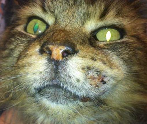Photo 2 :  Carcinome épidermoïde chez un Maine Coon de 10 ans.