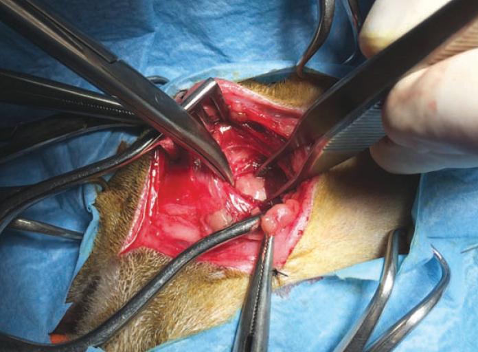 2. Ostectomie ventrale de la bulle tympanique chez un persan de 11 ans présenté pour un syndrome ataxique en relation avec une otite moyenne. La stratégie antihyperalgésique est fondée sur l'anesthésie locale, la perfusion de doses maîtrisées de fentanyl, la perfusion continue de kétamine à doses infra-anesthésiques, la prescription postopératoire d'anti-inflammatoires non stéroïdiens et la prise pré- et postopératoire de gabapentine. Ce traitement est mis en place en raison de la vulnérabilité à la douleur de l'animal (ancienneté des symptômes douloureux) et du risque de douleurs neuropathiques du fait de la proximité des nerfs facial et hypoglosse.