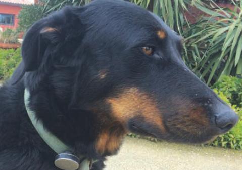 4.La première chienne beauceron âgée de 3 ans, indemne de dysplasie, est équipée d'un capteur connecté Whistle® , clipsé sur son collier (diamètre de 3,8 cm ; épaisseur de 1 cm ; poids de 16 g).Photo : T. POITTE