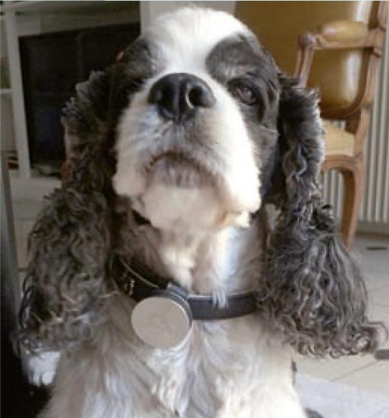 5.Le port d'un collier d'activité(accéléromètre) permet un suivi de qualité car le niveau d'activité est corrélé à la douleur ressentie par le chien arthrosique. Photos : T. POITTE