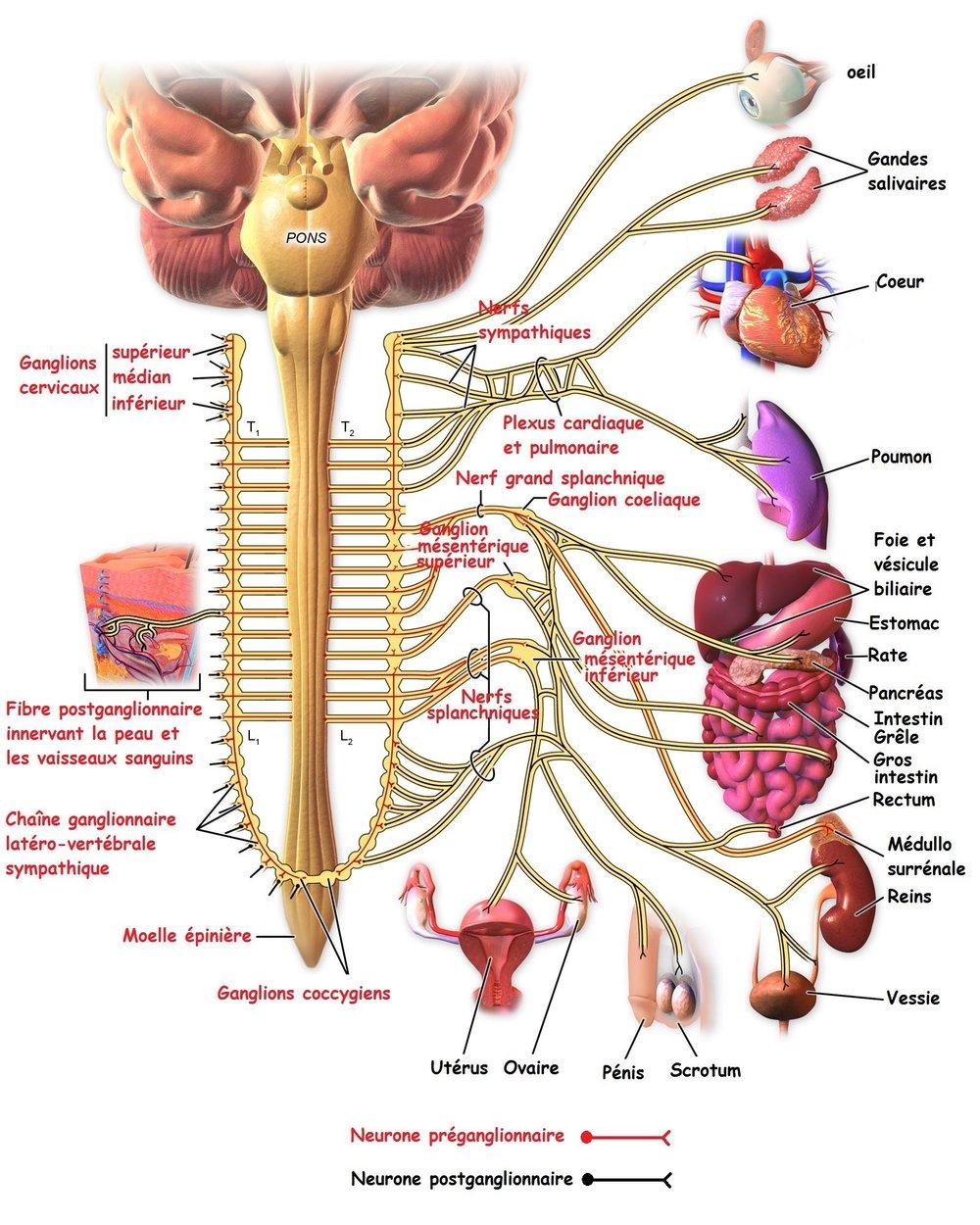 Système nerveux sympathique ☞  S'active en présence de facteurs de stress (activation physiologique) et prépare l'organisme à les affronter. ☞ Les corps cellulaires préganglionnairesse situent près de la moelle épinière thoracique et lombaire. ☞ Le 1er neurone est court alors que le 2ème est long ☞  Chaîne ganglionnaire paravertébrale composée de 3 ganglions : cœliaque, mésentérique supérieur et inférieur. ☞ Les neurones post-ganglionnaires quittent ces ganglions pour aller innerver les organes internes.