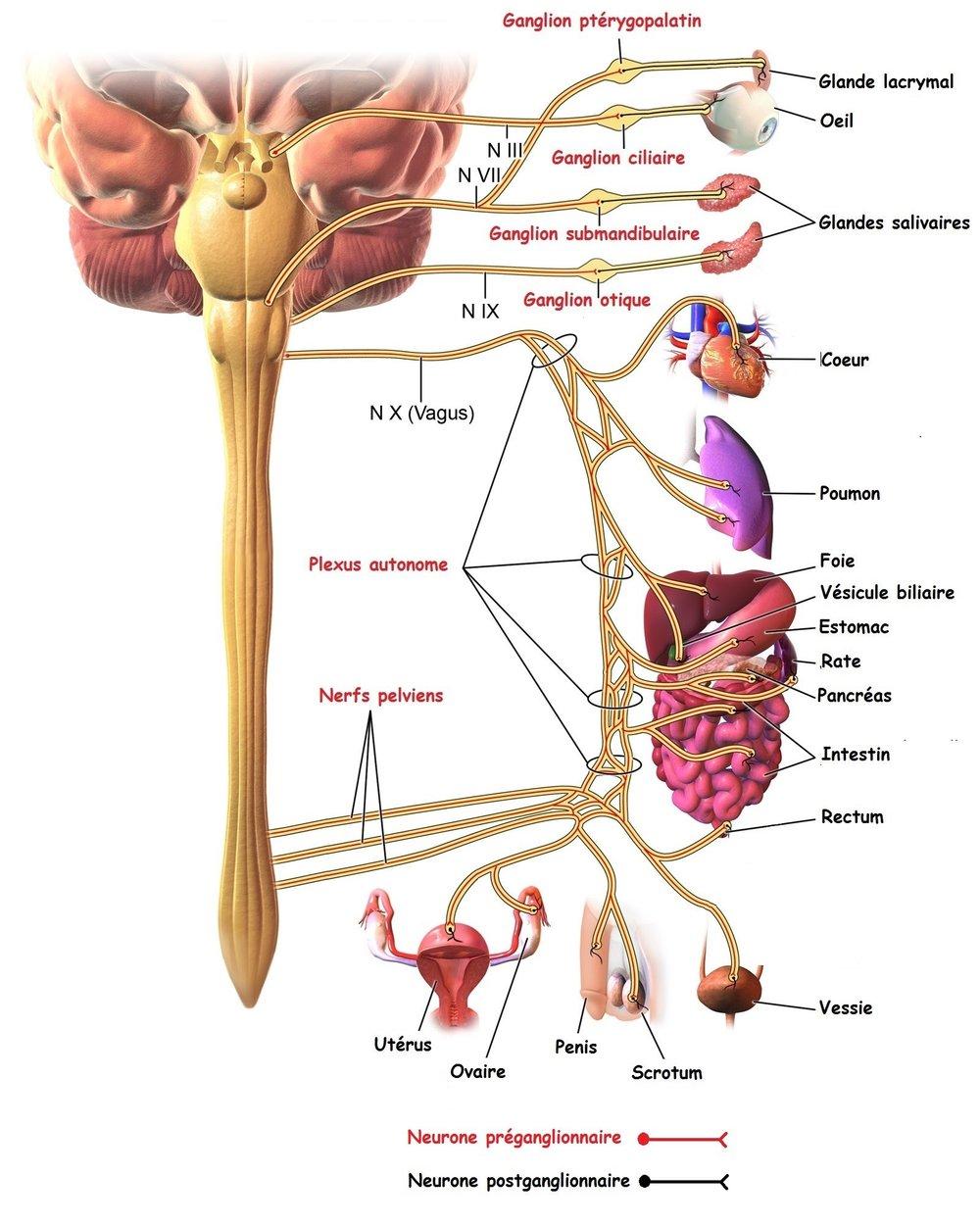 Système nerveux parasympathique   ☞  A  ssure l'entretien courant de l'organisme (maintien de l'homéostasie).   ☞   Les ganglions sont situés près ou dans les viscères : le 1er neurone est long alors que le 2ème est très court.   ☞   3   territoires :    - Le territoire céphalique : les fibres   préganglionnaires  .   -  Le territoire cervico-thoraco-abdominal innervé par le nerf vague (ou pneumogastrique ou   X  ) Seul le nerf X assure l  '  innervation des organes thoraciques et abdominaux. Il forme l  '  équivalent pour le parasympathique de la chaîne des ganglions sympathiques pour l  '  orthosympathique.   -Le territoire pelvien : les fibres parasympathiques       o  le contingent supérieur innerve la vessie, l  '  utérus, le rectum et le colon.      o  Le contingent inférieur innerve les organes génitaux externes.