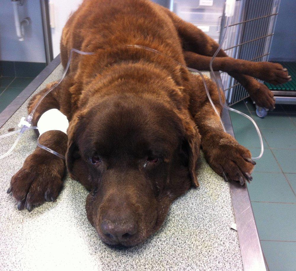 Labrador M 8 ans 42 kg Spondylodiscite lombo-sacrée