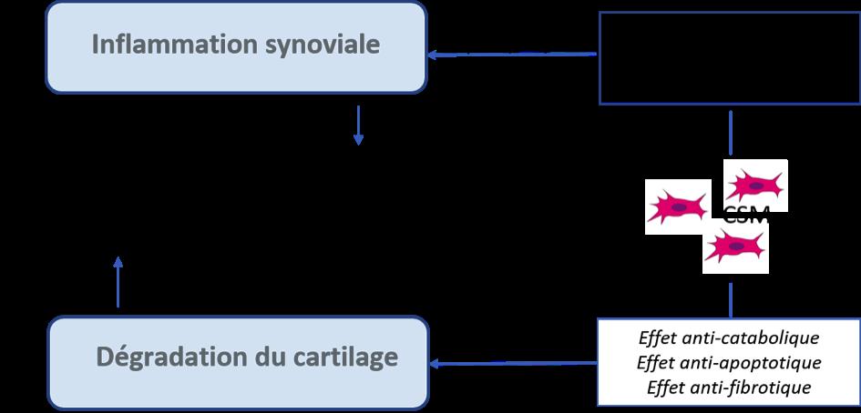 Figure : Mécanisme d'action multimodal des CSM au niveau articulaire permettant une prise en charge globale de l'arthrose