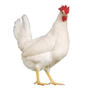 live-white-chicken--500x500.jpg