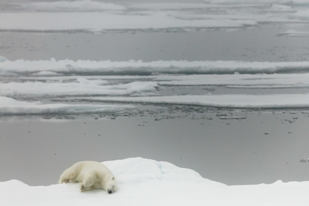Adult polar bear sleeps on edge of Arctic Ocean sea ice
