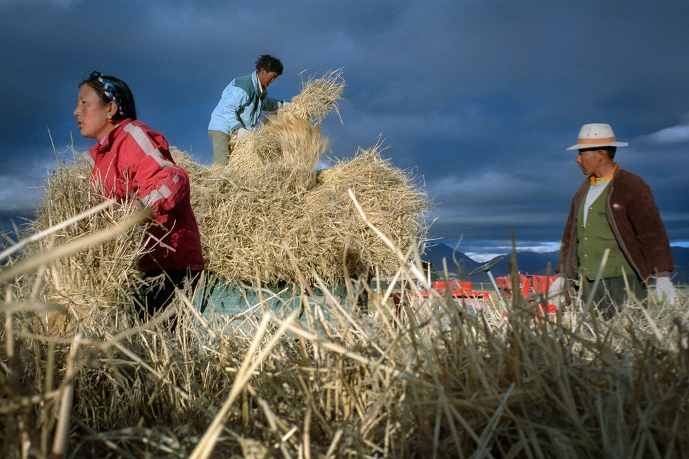 Barley crops harvested for tsampa flour