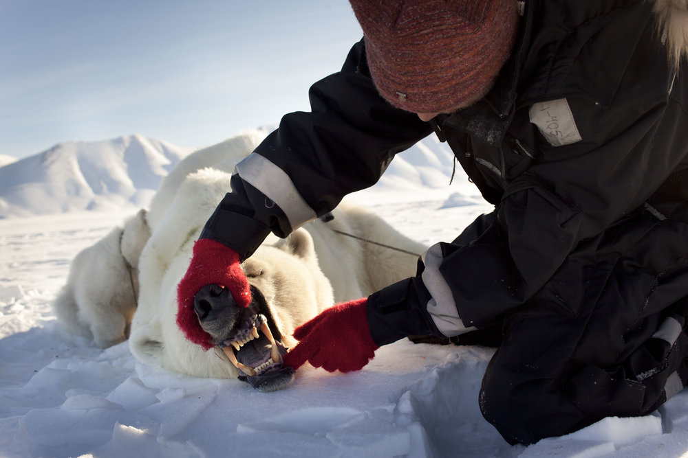 Scientist examines the teeth of a tranquilised polar bear