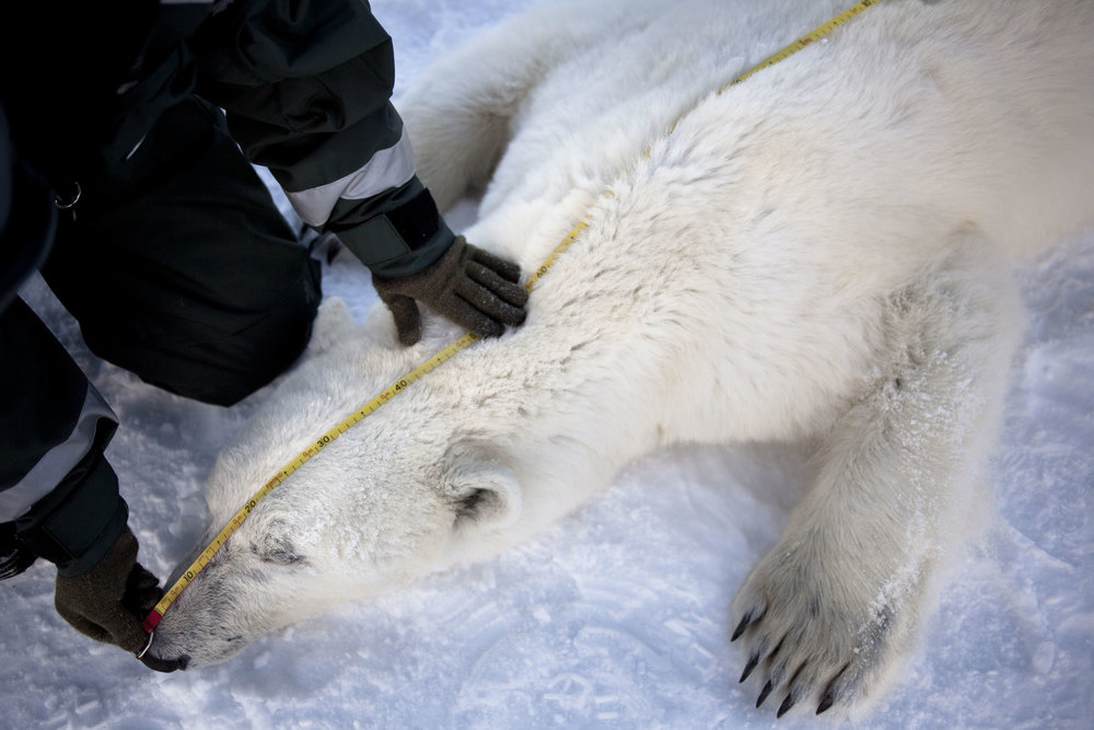 A scientist measures the length of an adult polar bear