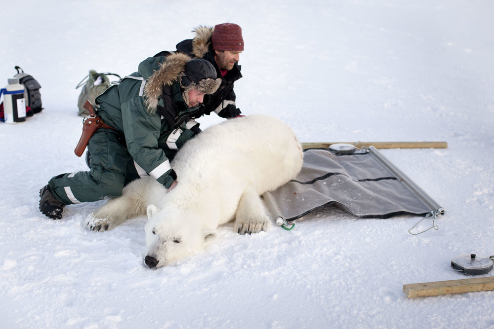 Scientists roll a tranquilised polar bear onto a weighing device