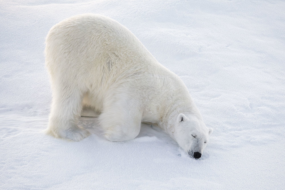 A polar bear sleeps on the ice